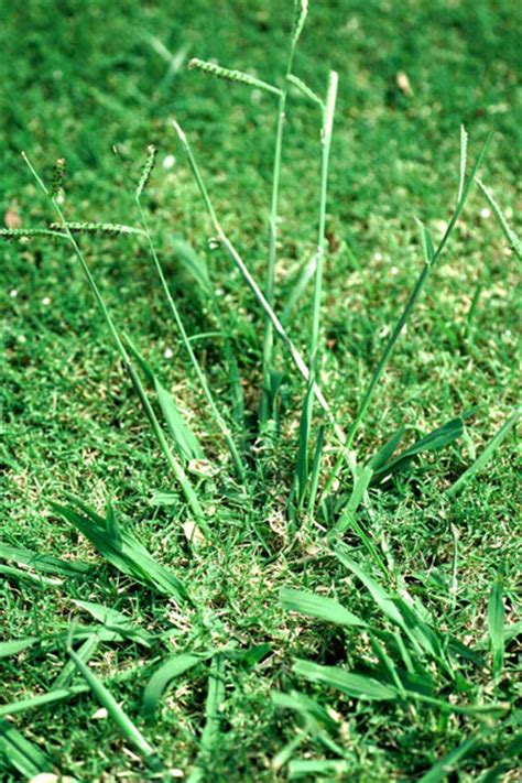 Winter Gardening In Texas - dealing with dallisgrass neil sperry s gardens