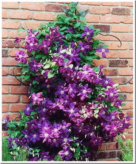 easy climbing plants 5 easy effortless vines flower and ranges