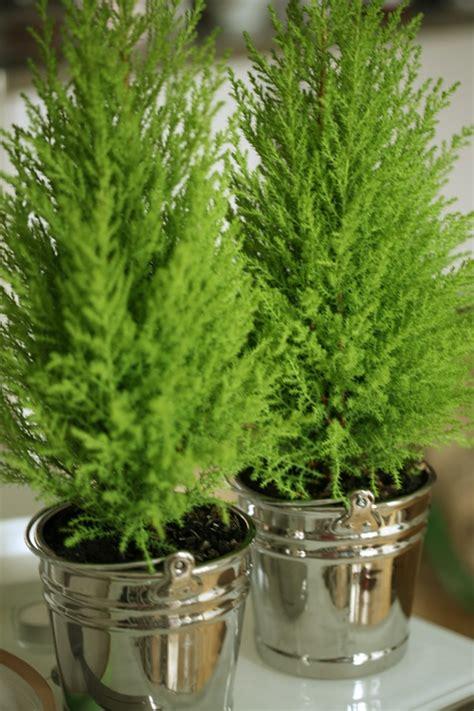 mini conifersevergreens  love pointy evergreen shrubs  trees rows     road
