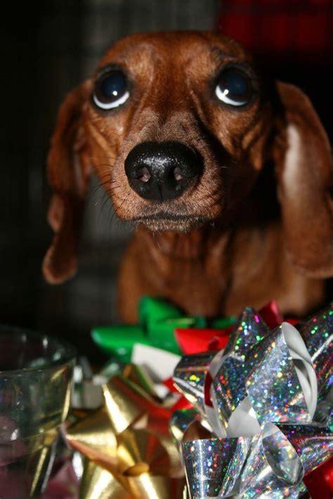 dachshund parents understand