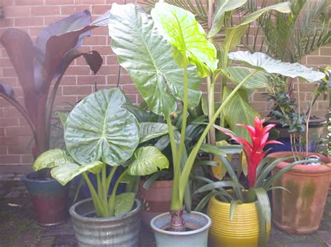 planting elephant ears in pots 28 images elephant