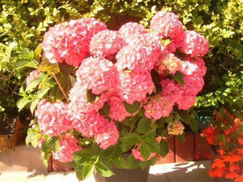 pflege hortensien im garten hortensien pflegen hortensien pflege hortensien richtig