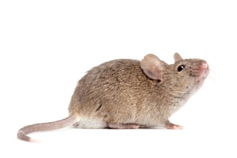 how do mice get in house how do mice get into your house