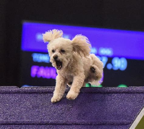 westminster kennel club show westminster kennel club s agility chionship photos dogs compete for place
