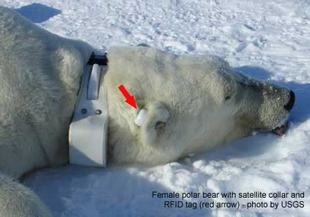 Polar Extinction Essay by S Beaufort Polar Bears Largely Recovered From Known 2004 2006 Decline Says New Study