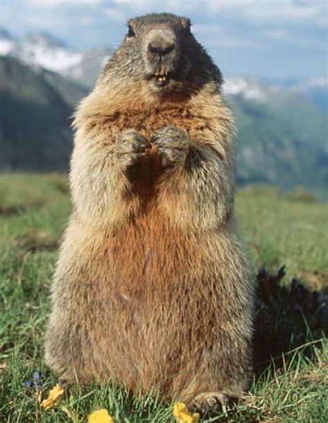 groundhog day que es image gallery la marmota