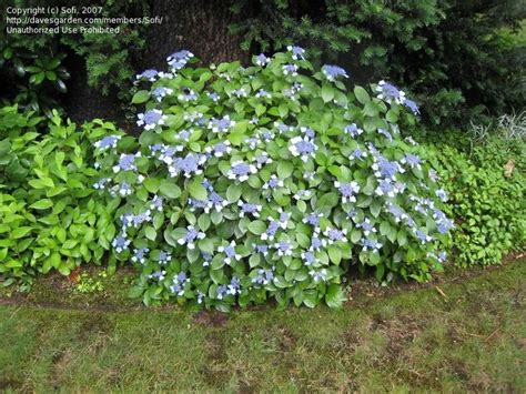 hydrangea blue billow lakewold hydrangea border pinterest