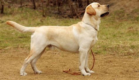 dog breed  india goldenacresdogscom