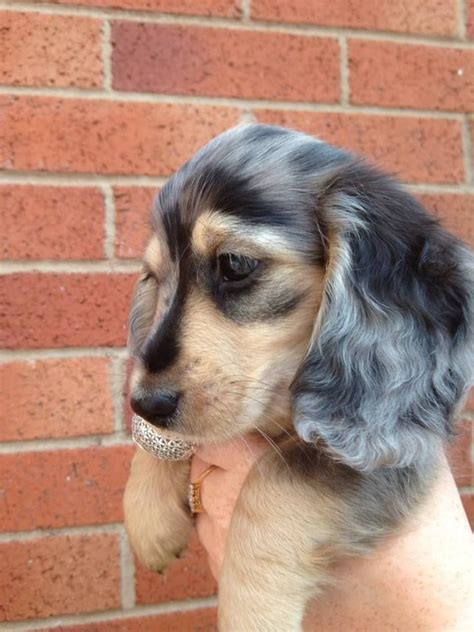 dapple dachshund puppies for sale silver dapple dachshund puppies for sale breeds picture