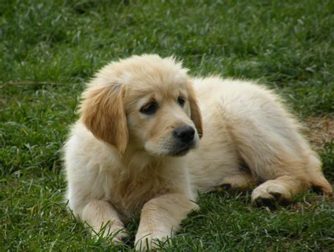 golden retriever house cuccioli di golden retriever cuccioli di golden retriever vendo pagina cuccioli di