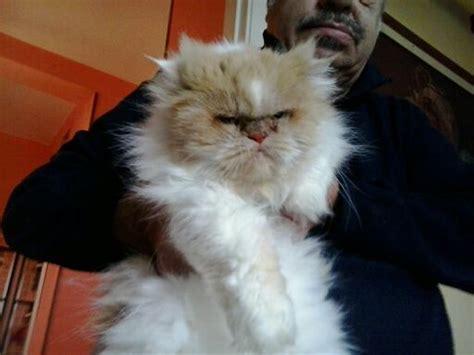 gatti persiani toscana livorno gatta persiana e siamese albina adozioni urgenti