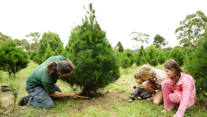 best places to cut your own christmas tree in the bay area