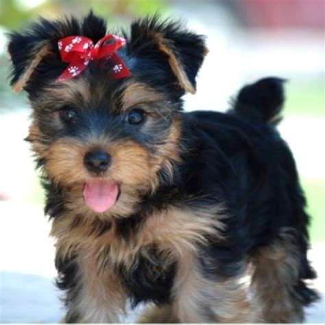 how much is a miniature yorkie 17 best images about terrier on puppys taking care of baby and