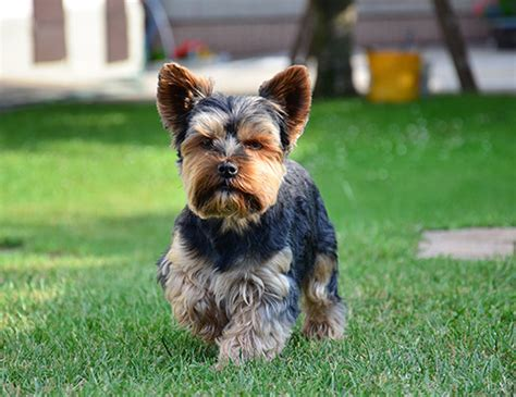 how is a yorkies span span of chihuahua
