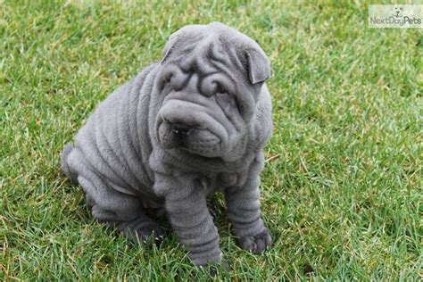 blue shar pei puppies for sale shar pei puppy for sale near northwest ct connecticut 05669167 f311