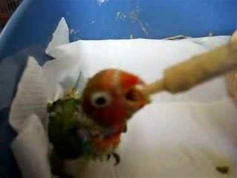 pappagallini inseparabili alimentazione pappagallini inseparabili yahoo answers