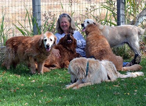 homeward bound golden retriever rescue sacramento homeward bound golden retriever rescue 11 photos 24 reviews animal shelters