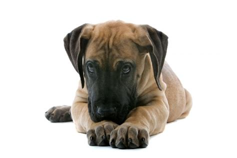 how much are great dane puppies great dane puppies what to consider bakery