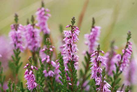 fiori di erica fiori e piante velenose o nocive