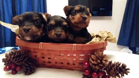 silver yorkies for sale silver blue terriers for sale accrington lancashire pets4homes