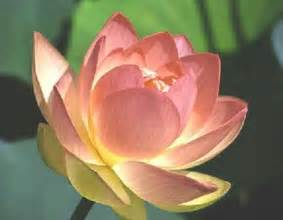 The Lotus Blossom Miscellaneous Lotus Flower As A Symbol Of Spirituality