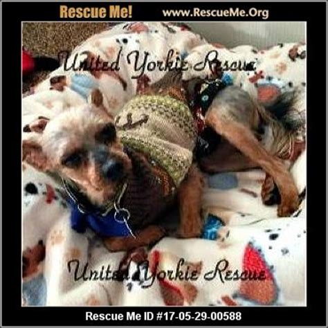 yorkie rescue massachusetts massachusetts yorkie rescue adoptions rescueme org