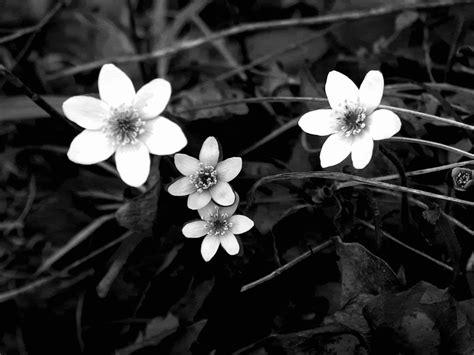 Eblack Flower black and white real flowers many flowers