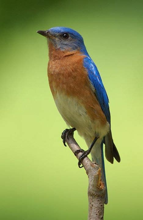 attracting bluebirds to your backyard attracting bluebirds to your backyard spots left for