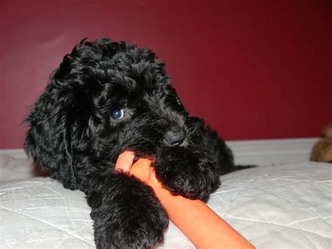 sheepadoodle puppies for sale sheepadoodle puppies llanelli carmarthenshire pets4homes