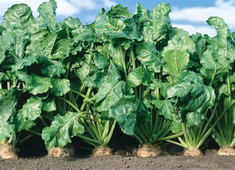 roundup ready sugar beets images