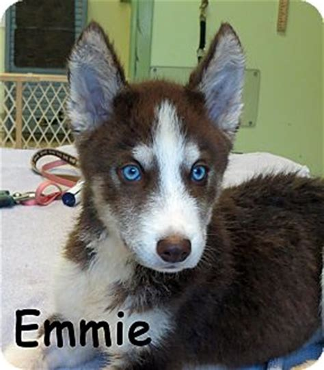 husky puppies for adoption in pa warren pa husky meet emmie a puppy for adoption
