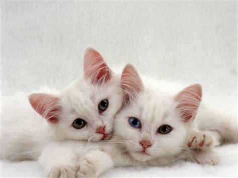 2 kittens in huis aanschaf van een kitten benodigdheden aandachtspunten en