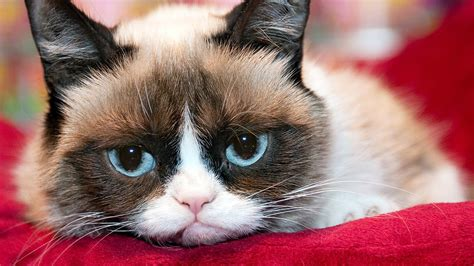 high resolution wallpaper of cat grumpy cat wallpapers high quality download free