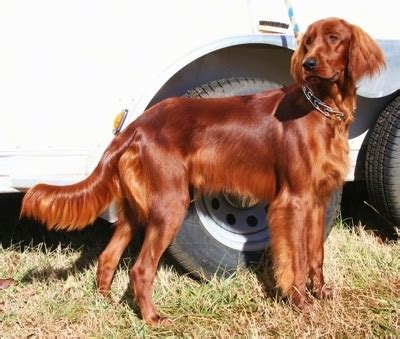 red setter working dog 50 incredible photos of irish setter dog