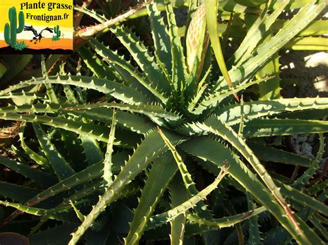 Aloe Humilis Entretien by Aloe Et Aloes Mediterraneennes