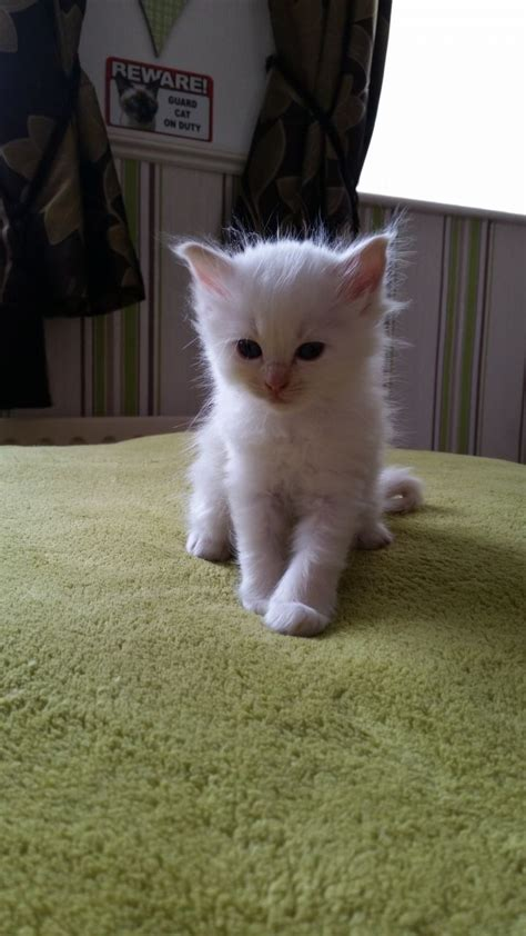 ragdoll cats for sale ragdoll kittens for sale sheffield south