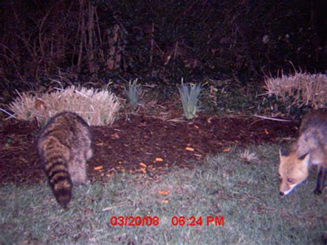 dead raccoon in my backyard terrierman s daily dose raccoon and fox in the front yard