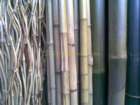 Pancing Bambu jenis jenis bambu sahabat bambu