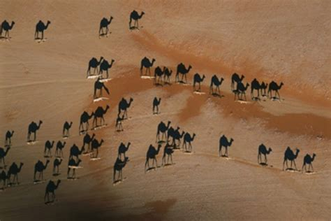 imagenes sorprendentes de natgeo fotos national geographic camellos en el desierto