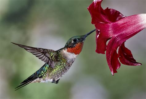 ruby throated hummingbird lowcountry hummingbirds high