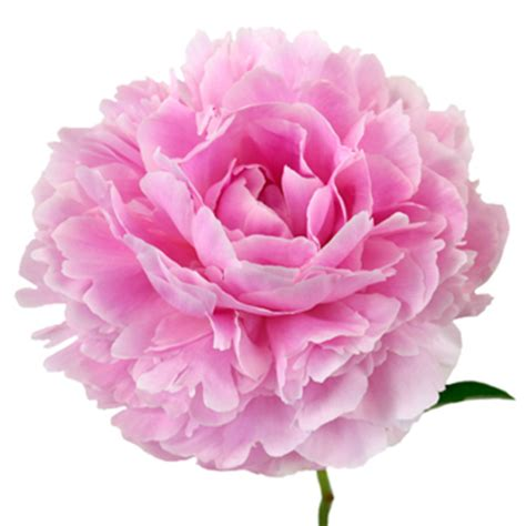 pink peonies flower november delivery