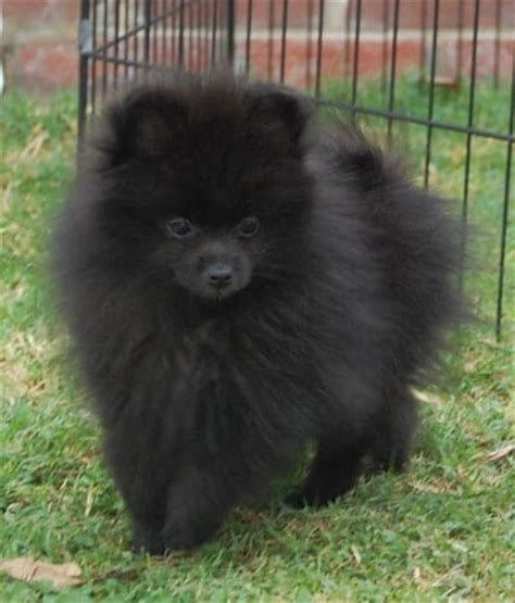 black and pomeranian puppies pomeranian breed 187 information pictures more
