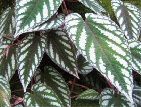 vining house plants rex begonia vine cissus discolor houseplants pinterest houseplants plants and