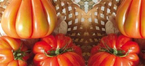 pomodori cuore di bue in vaso vendita piantine di pomodoro cuore di bue innestato vaso