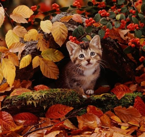 wallpaper cat autumn kitten in a fall leaves cats animals background