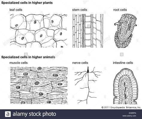 embryonic stem cells where do they come from and what can they do