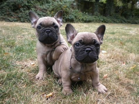 black bulldog puppies bulldog breed puppy models picture
