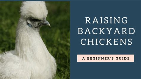 backyard poultry raising beginners guide to raising backyard chickens coop 101
