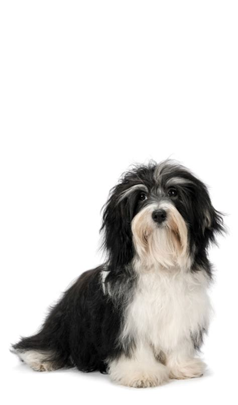 havanese cross breeds havanese cross