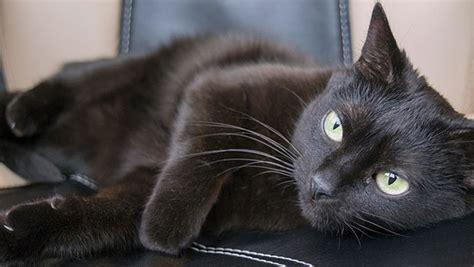 gatto nero testo gatto nero alle origini della superstizione di cui 232